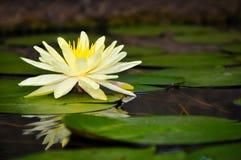 waterlily Photos libres de droits