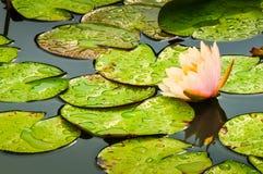 waterlily Photographie stock libre de droits