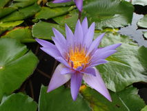waterlily Stockfoto