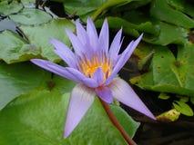 waterlily Stockfoto