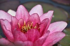 waterlily photos stock