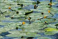 waterlily Immagine Stock