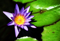 waterlily obraz stock