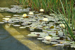 waterlily Fotografia Stock