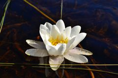 waterlily Stock Foto's