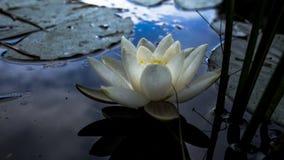 waterlily Foto de Stock Royalty Free