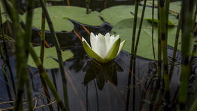 waterlily Image stock