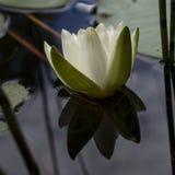 waterlily Stockbilder