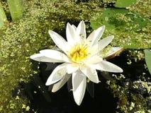 waterlily Royalty-vrije Stock Afbeeldingen