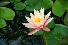 waterlily Fotografía de archivo libre de regalías