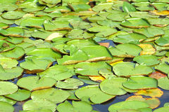 Waterlily abstract Royalty Free Stock Photo