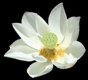 Waterlily aisló Fotos de archivo
