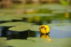 Waterlily amarillo en la charca del jardín Imagenes de archivo