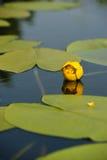 Waterlily amarillo en la charca del jardín Imagen de archivo libre de regalías