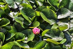 Waterlily amid green leaves Royalty Free Stock Images