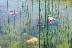 Waterlily in Ariel Sharon-Park, Israel lizenzfreies stockbild
