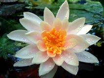 Waterlily bagnato Immagini Stock Libere da Diritti