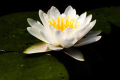 Waterlily bianco Fotografia Stock