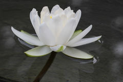 Waterlily bianco Fotografie Stock