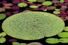 Waterlily Blätter Lizenzfreies Stockbild