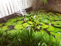 Waterlily blad Royaltyfri Fotografi