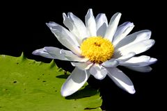 Waterlily blanc Photo libre de droits