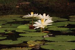 Waterlily blanc Images stock