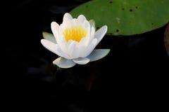 Waterlily blanc Photographie stock libre de droits