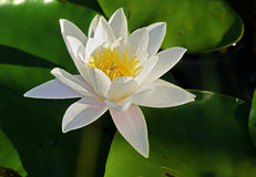 Waterlily blanc Photos stock