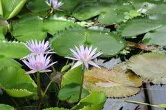 Waterlily bloeit 01 royalty-vrije stock afbeelding