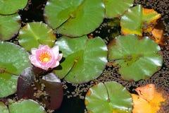 WaterLily blomma botanisk trädgård kyoto japan Fotografering för Bildbyråer
