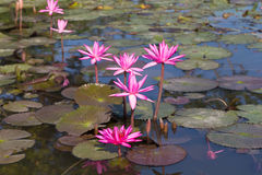 Waterlily blooming in the pond with dragonfly Royalty Free Stock Photography