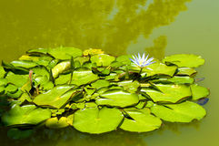 Waterlily Blue Lotus of the Nile Royalty Free Stock Photos