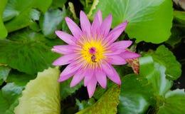 WaterLily-Blume Stockfoto