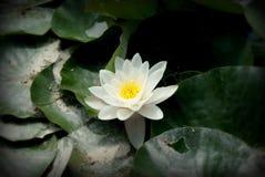 Waterlily branco e amarelo no lago Imagem de Stock Royalty Free