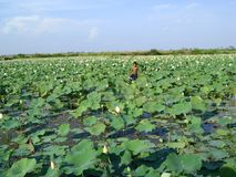 Waterlily Cambodja stort blad som växer i vatten Royaltyfri Foto