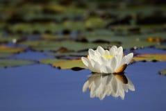 Waterlily che riflette sull'acqua Immagini Stock Libere da Diritti
