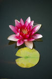 Waterlily, close up Stock Photography