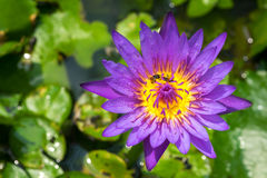 Waterlily Royalty Free Stock Images