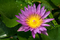 Waterlily Stock Photography
