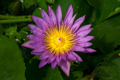 Waterlily Royalty Free Stock Image