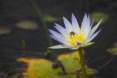 Waterlily com abelha pequena Fotografia de Stock Royalty Free