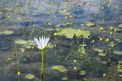 Waterlily com as flores amarelas pequenas Fotos de Stock