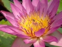Waterlily con la abeja Fotografía de archivo