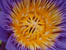Waterlily con la abeja Fotos de archivo libres de regalías