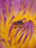 Waterlily con la abeja Imagen de archivo libre de regalías