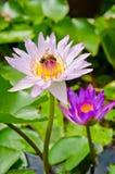 Waterlily con la abeja en la charca Imagen de archivo
