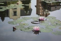Waterlily con las hojas verdes Foto de archivo libre de regalías