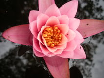 Waterlily cor-de-rosa na água Fotografia de Stock Royalty Free