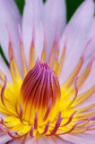 Waterlily détaillé image libre de droits